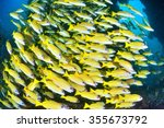 Small photo of Blue banded snapper