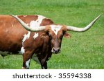 A Large Longhorn Bull In A...