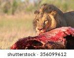 Male Lion Eating Buffalo