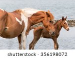 A Wild Chincoteague Pony With...