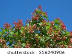 Small photo of Tatarian maple (lat.Acer tataricum) on blue sky background