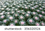 ornamental cabbage in a garden | Shutterstock . vector #356320526