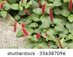 Small photo of Firetail's red flowers blooming(Acalypha reptans)