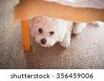 Cute White Maltese Dog Hiding...