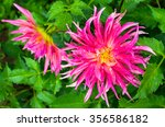 Pink Dahlia Flower With Drops...