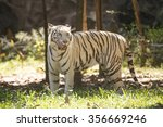 the white tiger walking and... | Shutterstock . vector #356669246