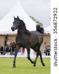 Trotting Black Arabian Horse.
