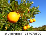 beautiful orange groves of... | Shutterstock . vector #357070502