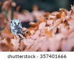 Small photo of Close-up Of Boreal Owl (Aegolius finereus) In The Orange Autumn Tree, wildlife photo.