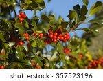Holly Berries   Ilex Aquifoliu...