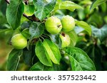 fresh green apples on a branch...   Shutterstock . vector #357523442