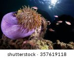 Pink Anemone Fish In Their...