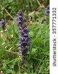 Small photo of A flowering spike of bugle (Ajuga reptans) with a background of leaves and other plants out of focus.