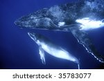 humpback whales | Shutterstock . vector #35783077