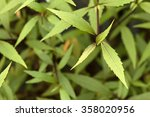 Small photo of Mistflower's green Lanceolate leaves (Ageratina riparia) (native to Mexico, Cuba and Jamaica)