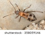 Small photo of Plant bug, Alydus calcaratus nymph on rock