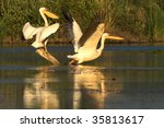 pair of american white pelicans ... | Shutterstock . vector #35813617
