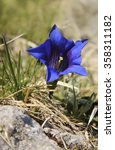 Small photo of royal blue alpine gentian in the grass, selective focus.