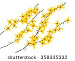 Forsythia Flower  Yellow Flower ...
