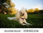 Miniature Poodle Lying In The...