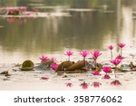 Close Up Pink Color Fresh Lotus ...