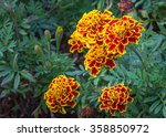 Marigold Flowers  Yellow...