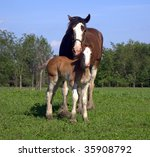 Clydesdale Mare And Foal In...