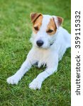 Jack Parson Russell Terrier...
