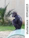 One Chimpanzee Sitting On A Pipe