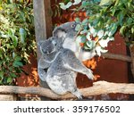 Mother Koala Eating Leaves Wit...
