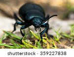 Bloody Nosed Beetle  Timarcha...