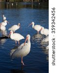 Small photo of American white ibis (Eudocimus albus) standing in blue water, cleaning itself, with flock in background