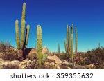 Cactus Fields In Mexico Baja...