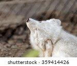Small photo of Scratching Polar fox (Alopex lagopus)