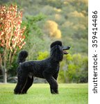 Standard Poodle Standing In Th...