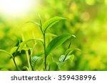 Green Tea Bud And Leaves. Tea...