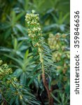 Small photo of Euphorbia Characias AKA Mediterranean/Albanian Spurge