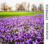 Blooming Crocus Flowers In The...