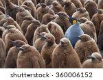 adult king penguin  aptenodytes ... | Shutterstock . vector #360006152