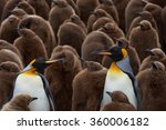Adult King Penguins ...