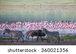 Zebras And Wildebeests Walking...