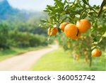 orange tree in orange farm. | Shutterstock . vector #360052742