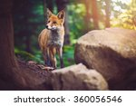the fox foxes are small to... | Shutterstock . vector #360056546