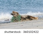 grey seal lying on the beach... | Shutterstock . vector #360102422