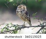 a small bird burrowing owl...   Shutterstock . vector #360115025