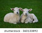 two spring lambs rest in a lush ...   Shutterstock . vector #360133892