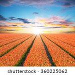 Beautiful Tulips Field In The...