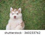 Cute Siberian Husky Puppy Lyin...