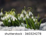 Snowdrop Flowers Blooming In...