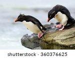 Rockhopper Penguins  Eudyptes...